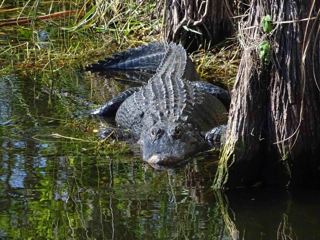 visiter miami en famille visiter les everglades en français les everglades en famille airboat alligator tortue miami off road